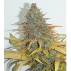 Northern Lights Cannabis Seeds Feminized