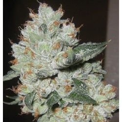 OG Kush Cannabis Seeds Feminized