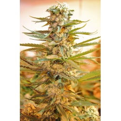 M 39 Cannabis Seeds Feminized