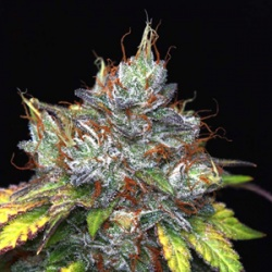Purple Kush Cannabis Seeds Feminized