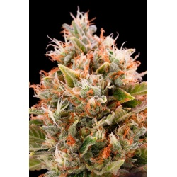 Chemdawg Cannabis Seeds Feminized