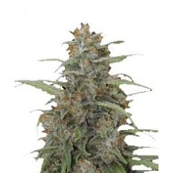 CBD OG Kush Cannabis Seeds Feminized